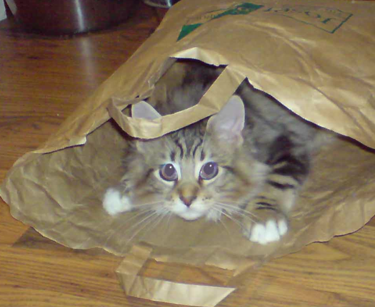 Young_Maine_Coon_in_paper_bag wiki com